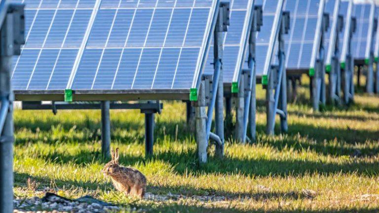 Una liebre europea en un huerto solar. © Shutterstock