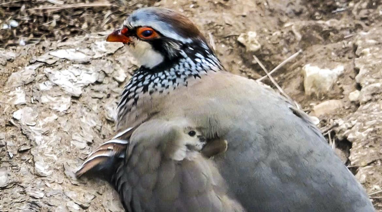 Un cazador capta la increíble imagen de un pollo de perdiz escondido, ¿puedes verlo?