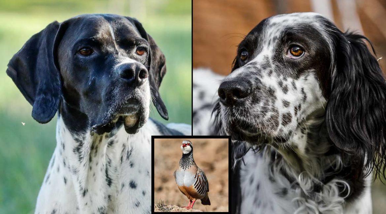 Pointer vs setter en la caza de la perdiz roja: ¿cuál es mejor?