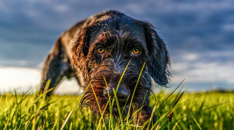 Perros de caza: Así quiere acabar con la caza el animalismo usando las leyes de protección animal
