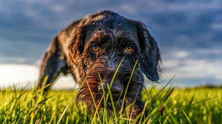Un drahthaar olfatea entre la hierba. ©Shutterstock