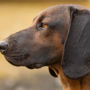Jabalíes y corzos, los animales más pisteados por los perros de sangre de AEPES en 2020