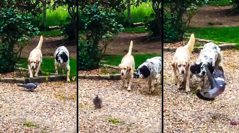 Dos setter muestran una paloma torcaz en un parquey el tiempo se detiene