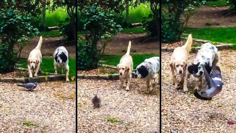 Los setter muestran a la paloma torcaz. © Facebook