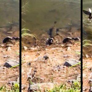 Un pez caza a una tórtola mientras bebía y la sumerge, pero esta no se rinde