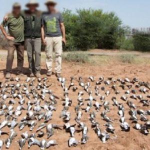 ¿Influyen las matanzas de tórtolas de Marruecos en el declive de la especie en España?