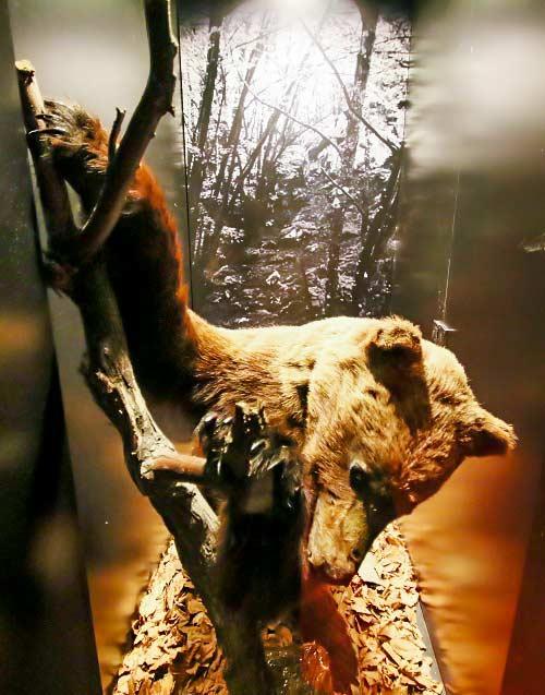 El último oso cazado en Vizcaya tras ser disecado. © Desveda