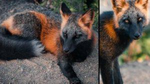 Así es el zorro de fuego, un animal con un pelaje sorprendente