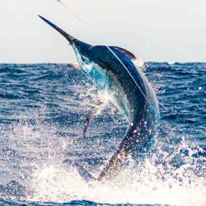 Open Internacional Pesca de Altura Gran Canaria: ¿Te unes a la búsqueda del gran marlín?