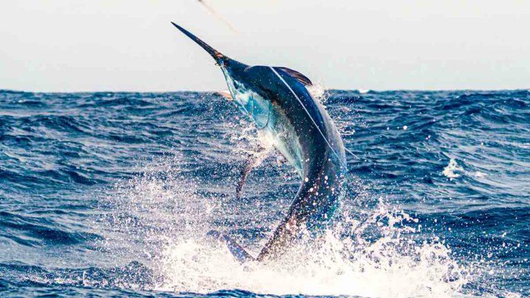 El gan marlín, protagonista del Open Internacional Pesca de Altura Gran Canaria.