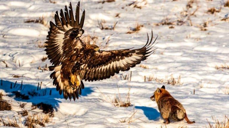 Un águila intenta dar caza a un zorro.