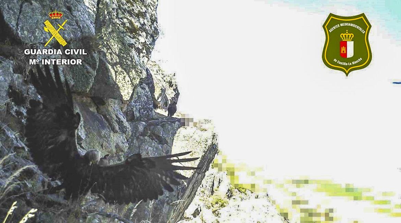 Coloca cámaras trampa junto a un nido de águila real y el Seprona le hace una 'espera'