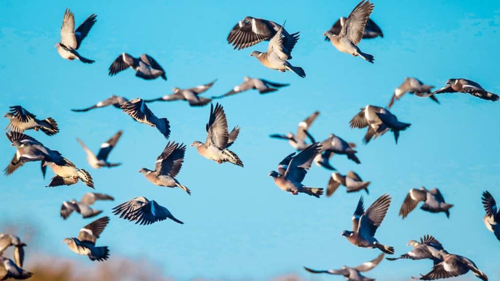 bando palomas torcaces
