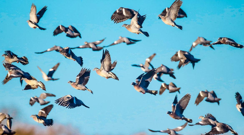 Este bando de palomas torcaces es tan grande que cubre el cielo