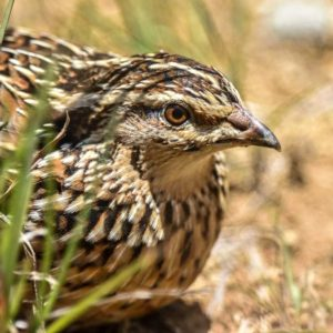 El mayor experto en codorniz de España, a SEO/BirdLife: «La caza no afecta al tamaño de su población»
