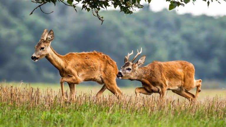 Una pareja de corzos en celo. ©Shutterstock