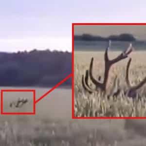 La enorme cuerna de un ciervo escondido en esta siembra lo delata