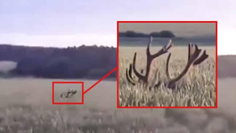 ciervo escondido en una siembra