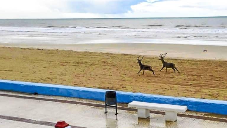 ciervos playa nudista