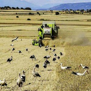 Fotografían a más de 70 cigüeñas rodeando una cosechadora