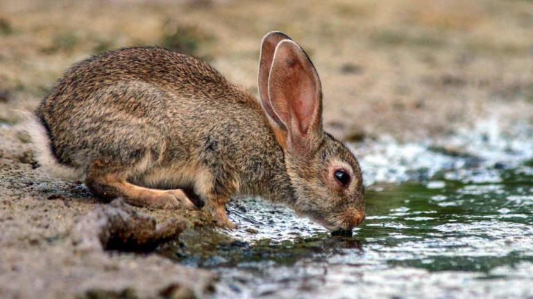 Conejo bebiendo en una balsa de Córdoba. ©Shutterstock