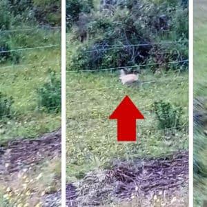Un pescador graba otro conejo completamente rubio en Jaén