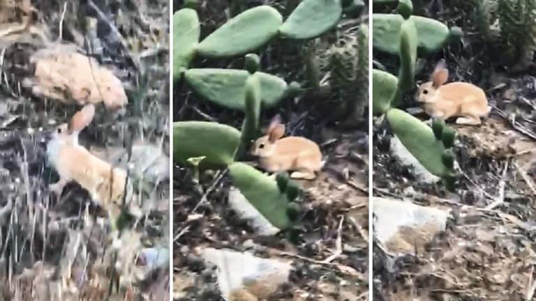 conejo rubio
