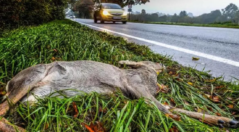 Si encuentro un corzo o un jabalí atropellado en la carretera… ¿Puedo llevármelo?