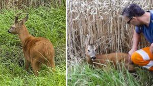 Un cazador se acerca a un metro de un corzo que parece 'dormido': ¿qué le pasa?