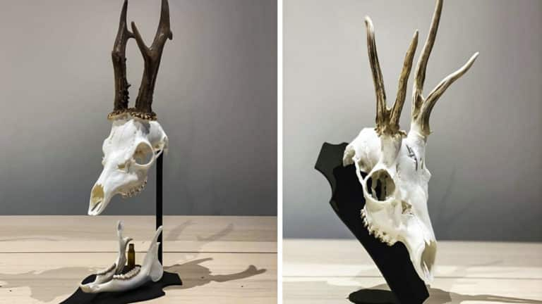 cráneos de corzo