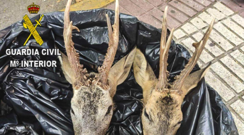 Pillan en Guadalajara a un furtivo de 29 años ebrio y con dos cabezas de corzo en el maletero