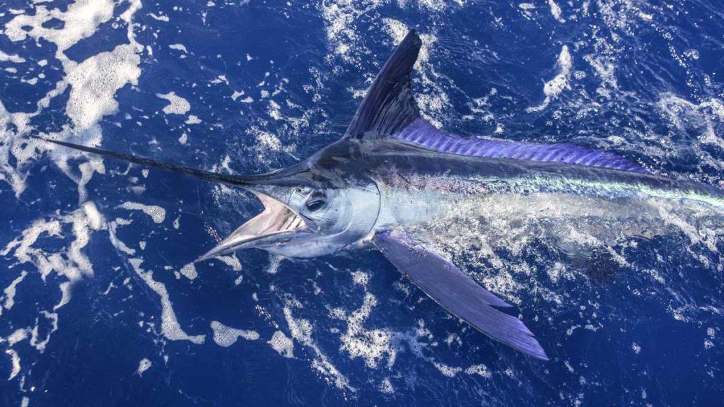 La pesca del gran marlin es una de las más apasionantes.