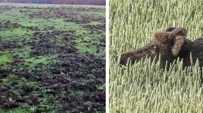 Agricultores gallegos tiran la toalla y dejan de cultivar ante los daños de los jabalíes