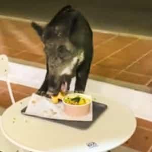 Graban a un jabalí comiéndose un perrito caliente en una terraza de verano