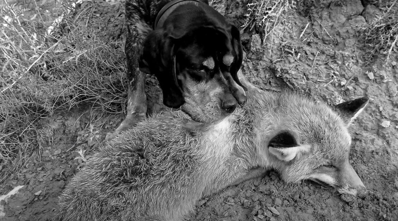Cinco lances de caza memorables a pelo y pluma con perro de muestra (perdiz, conejo, liebre y zorro)