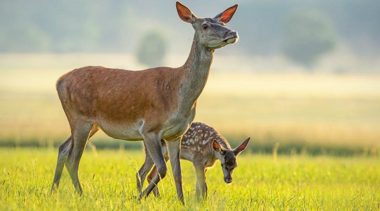 Prevista otra matanza de 1000 ciervos y jabalíes en Monfragüe financiada con dinero público