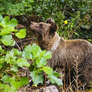 La Guardia Civil lanza una alerta por la presencia de un oso en un pueblo de Cantabria