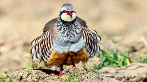 Perdiz roja: ¿Qué pasará si se llega a prohibir su caza?