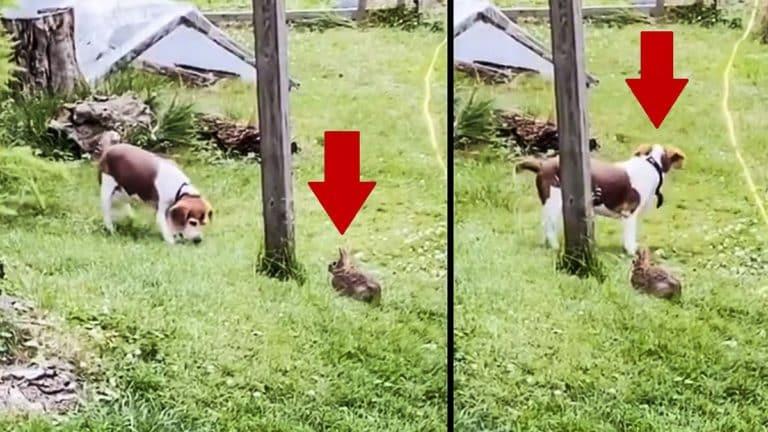 perro de caza conejo