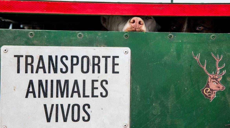 Arrecal pide al Ministerio de Agricultura un trato diferenciado para el transporte de perros de rehala