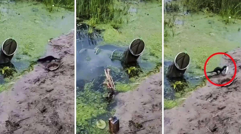 Un visón se cuela en el rejón de un pescador y le roba una de sus capturas