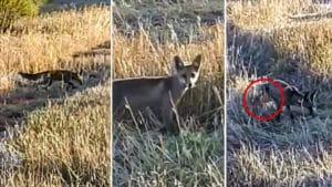 Insólito: Un cazador atrae a un zorro con un reclamo y este marca el territorio en sus narices