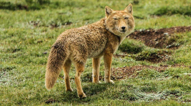 ¿Es este el zorro más feo del mundo? No es un fake y ha sido carne de memes