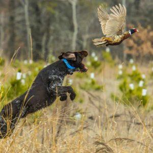 Cómo solucionar la falta de muestra en un perro de caza