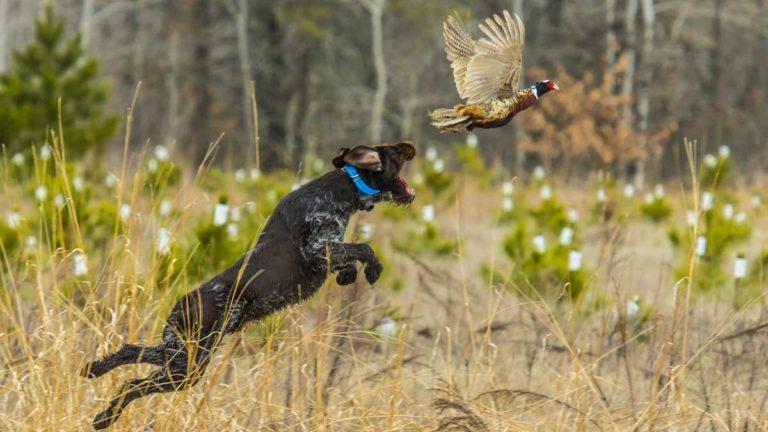 cómo corregir la falta de muestra en un perro de caza
