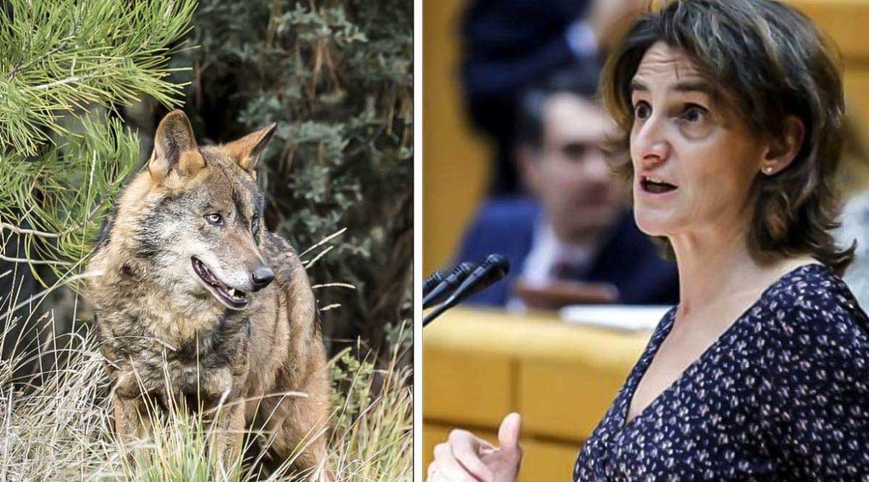 La RFEC rechaza la nueva maniobra del MITECO para prohibir la caza del lobo
