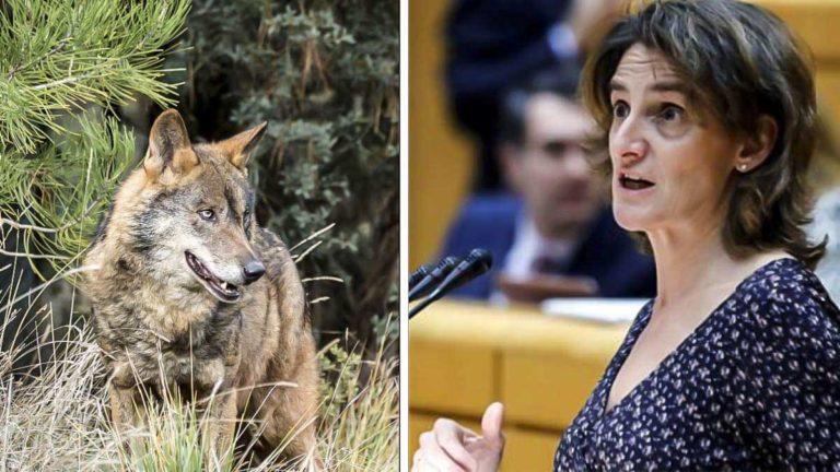 Lobo ibérico y Teresa Ribera. © Shutterstock y ABC