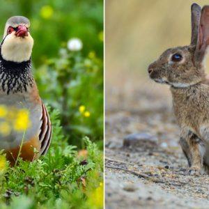 Investigan el 'Actimel' de la caza menor, un alimento que salvaría la vida de conejos y perdices