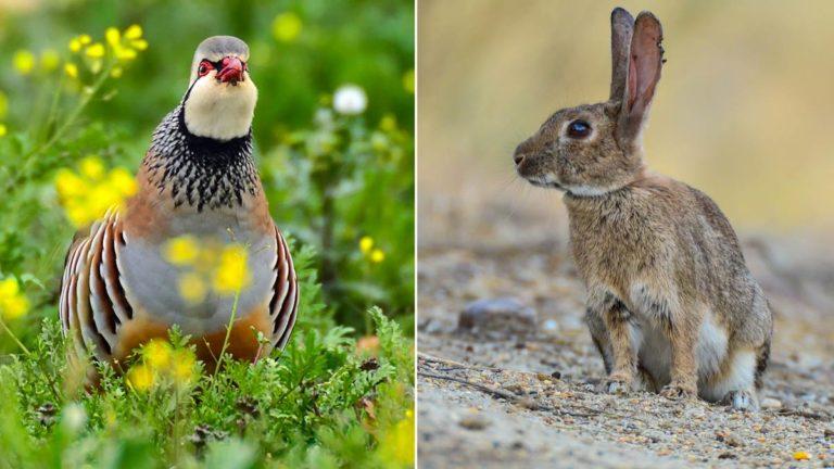 Una perdiz roja y un conejo. ©JDG