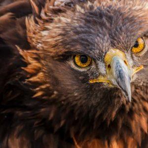 Un guarda de caza rescata un águila real a punto de morir ahogada en Jaén